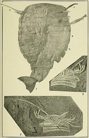 Sidneyia - Fossils