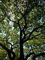 Walnut (Juglans sp.) - Kitchener, Ontario.jpg