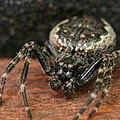 Walnut Orb-Weaver Spider.jpg