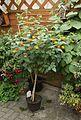 Wandelröschen (Lantana camara) gelb-orange (9478652450).jpg