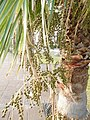 Washingtonia robusta (Arecaceae) 03.jpg