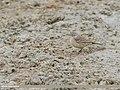 Water Pipit (Anthus spinoletta) (48701260117).jpg