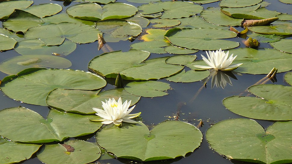 Water lilies (8858978154)