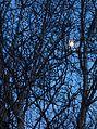 Waxing moon in trees.jpg