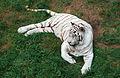 Weißer Tiger 02.jpg