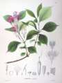 Weigela coraeensis SZ31.png