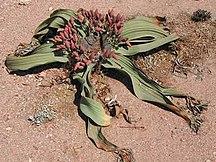 Namibia-Flora-Welwitschia-mirabilis-female