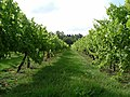West Mersea vineyard - geograph.org.uk - 40584.jpg