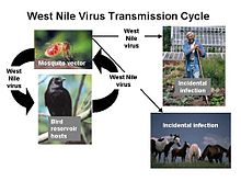 West Nile fever - Wikipedia