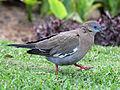 West Peruvian Dove RWD2.jpg