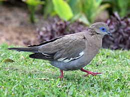 West Peruvian Dove RWD2.jpg