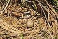 Western Meadowlark Nest (12823876585).jpg