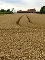 Wheat Field - geograph.org.uk - 912193.jpg