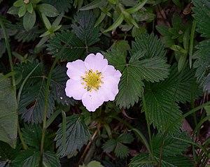 Fragaria nubicola - Image: Whf white 41