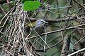 White-browed Warbler - Flickr - GregTheBusker (1).jpg
