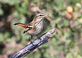 White-browed scrub robin, Cercotrichas leucophrys at Mapungubwe National Park, Limpopo, South Africa (17814937228).jpg