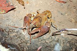 White-clawed crayfish Austropotamobius pallipes Dohlenkrebs.JPG