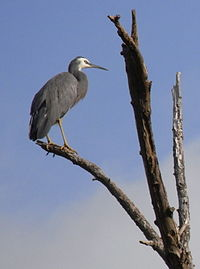 White-faced Heron Tree.JPG