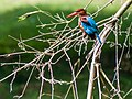 White-throated Kingfisher (24084991591).jpg