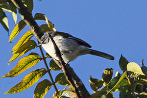White-winged warbler - Image: White winged Warbler (Xenoligea montana) (8082795709)