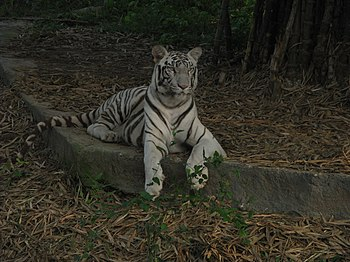White Tiger Cooling Off in a Summer Evening. 03.jpg