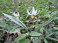White Trout Lily (14129350212).jpg