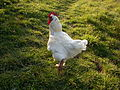 White cock.jpg