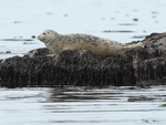 White harbor seal on moss by Dave Withrow, NOAA.png