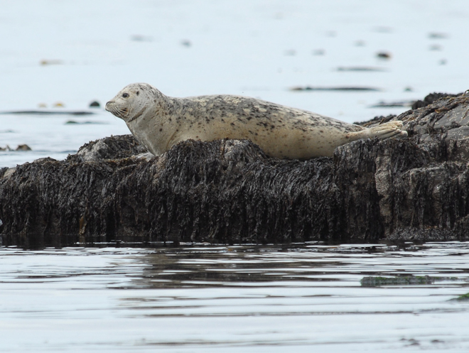 White harbor seal on moss by Dave Withrow, NOAA