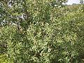 White mangrove (3666709633).jpg
