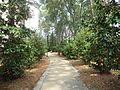 Whitehead Camellia Trail 1.JPG