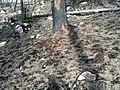 WildFireAreaNHorken0709-Damaged bark falling down.JPG