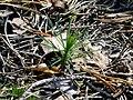WildFireAreaNHorken0709 first summer Pinus sylvestris.JPG