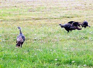 Wild Turkeys, Central PA
