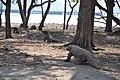Wild Komodo dragon - Komodo island (16912634577).jpg