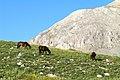 Wild horses, Bolkar Mts..jpg