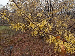 Witch hazel Central Park in winter.jpg