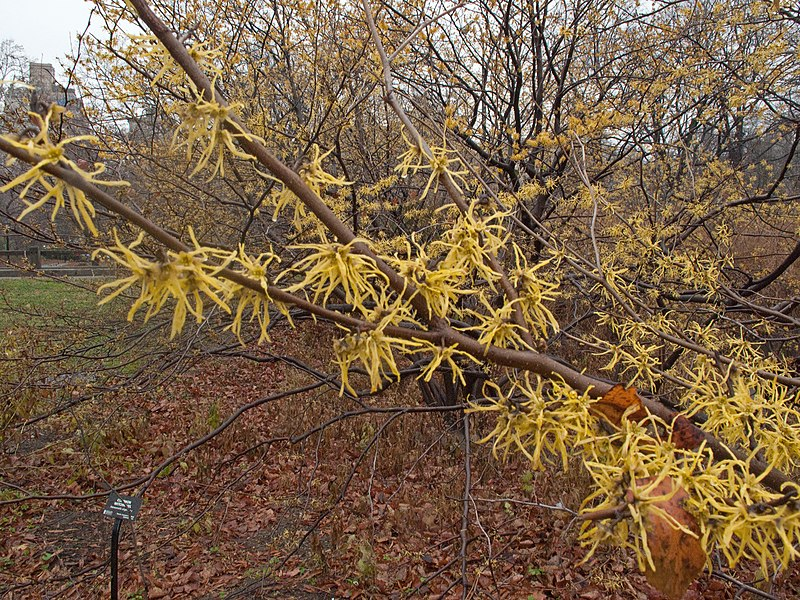 File:Witch hazel Central Park in winter.jpg