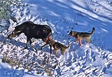Moose - Wikipedia