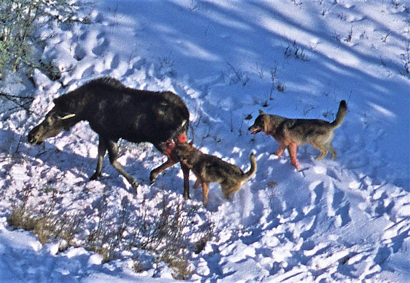 Wolves attack moose 2012-04-12 001 (cropped)