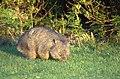 Wombat-Narawntapu.jpg