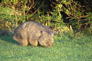 Wombat - Wombat in Narawntapu National Park, Tasmania