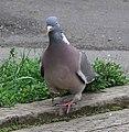 Wood pigeon front 9l07.JPG