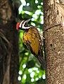 Woodpecker (2124961248).jpg