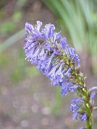 Wulfenia carinthiaca1.jpg