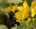 Xylocopa violacea female 1.jpg
