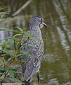 Yellow-Crowned Night Heron (37417039176).jpg