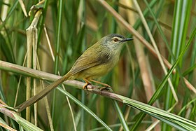 Yellow-bellied Prinia - Taiwan S4E9702 (17133168450).jpg