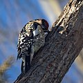 Yellow-bellied Sapsucker (5382168794).jpg