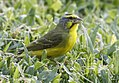 Yellow-fronted Canary 2.jpg